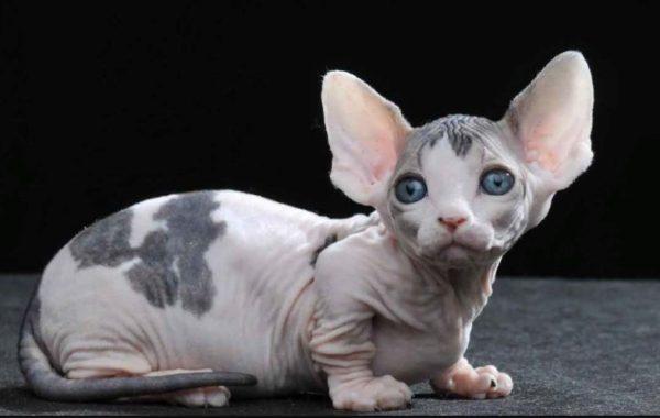 Кошки породы Бамбино
