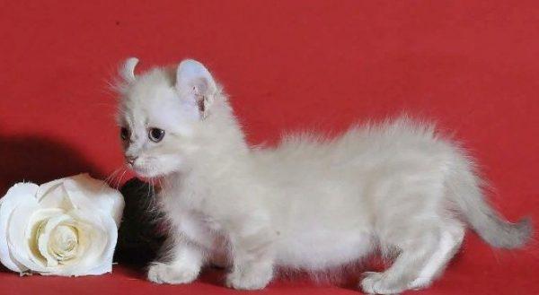 Кот породы Кинкалоу