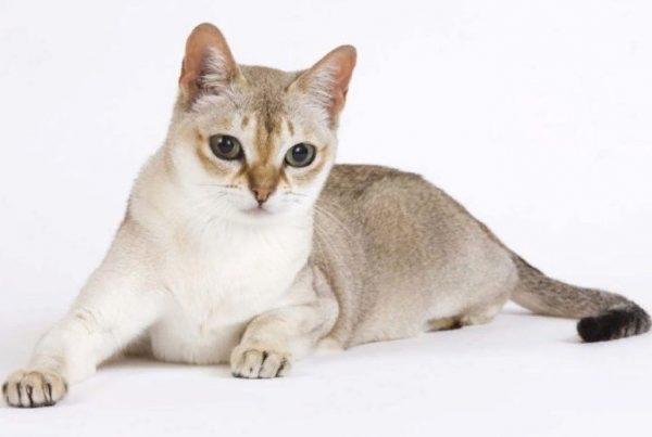 Кот породы Сингапура