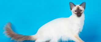 Турецкая ангора (ангорская кошка): фото, описание, окрас, характер, стандарт породы