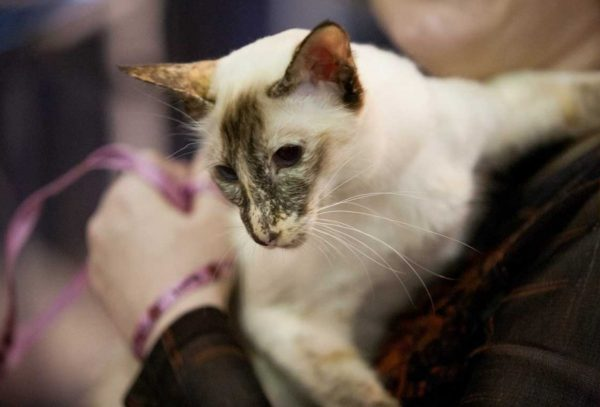 Основной чертой балинезийской кошки, отличающей ее от сиамских сородичей, является длинный шерстяной покров и отсутствие подшерстка
