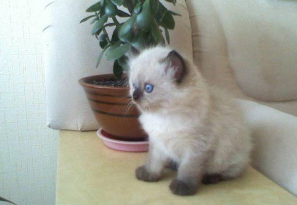 Котенок-балинез