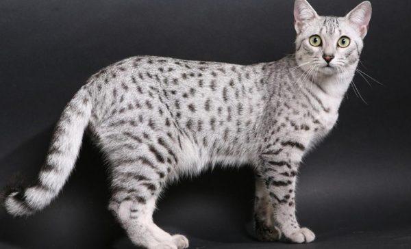 Кошка породы Мау