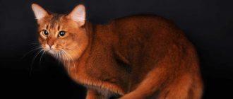 Балинезийская кошка описание породы уход и содержание