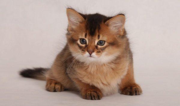 Сомалийский котенок