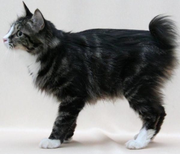 Для вязки кошку приносят на территорию кота
