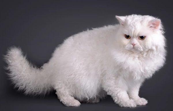 Кошки данной породы считаются отличными компаньонами