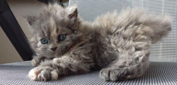 Кудрявые котята получаются от сведения двух кудрявых родителей или же кудрявого с прямошерстным