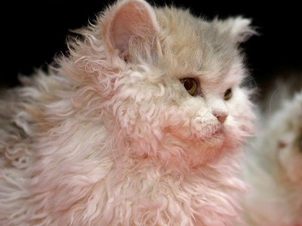 Главное отличие кошек породы селкирк-рекс – это кучерявая шерсть