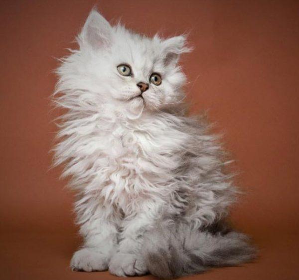 Стоимость котенка зависит от его внешности и чистоты породы