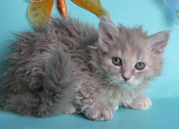 Кудрявые коты линяют так же, как и другие животные