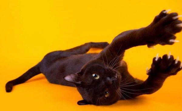 Отличительная черта «домашних пантер» – удлиненное тело, гладкая черная шерсть без единого вкрапления другого цвета