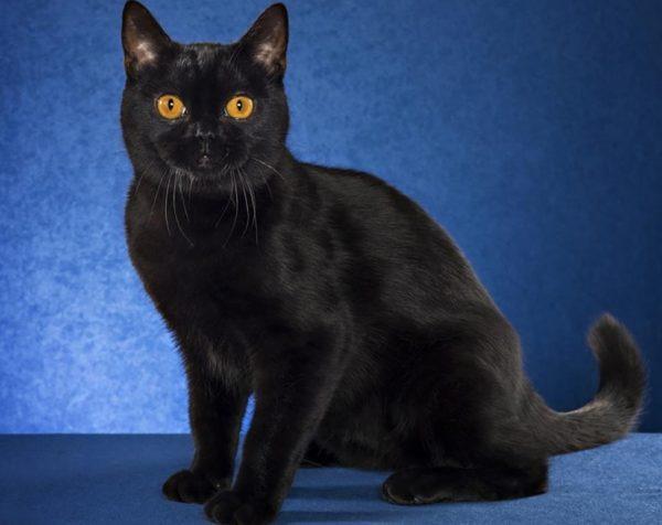Бомбейская кошка – животное-компаньон