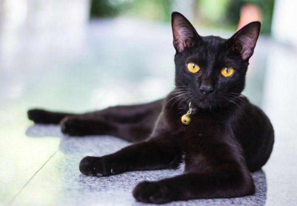 Коты бомбейской породы имеют хороший аппетит