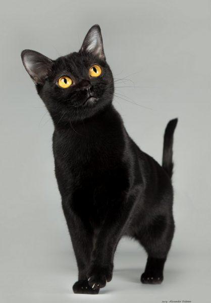Залог здоровья бомбейских кошек – сбалансированный рацион