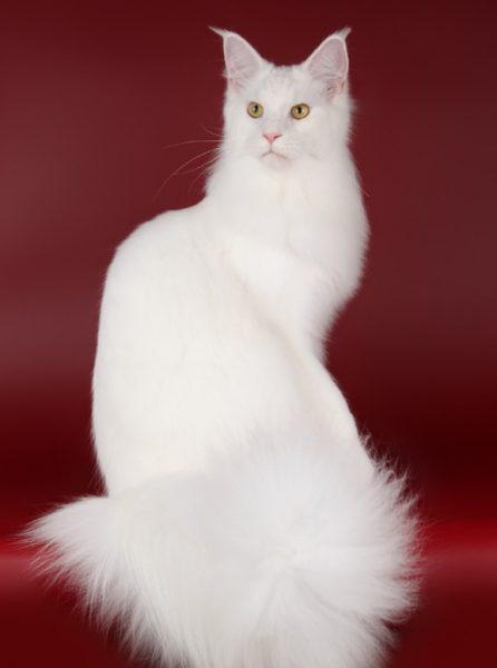 Белый мейн-кун