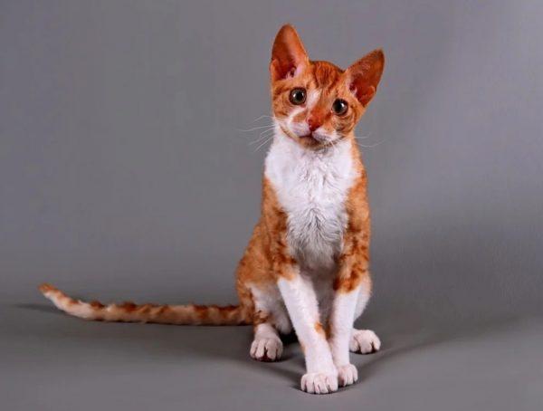 По характеру уральский рекс уравновешен и неагрессивен, особенно это касается котов