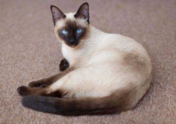 Тайская кошка, первое упоминание о которой датируется 14 веком, считалась в Сиаме символом успеха и финансового благополучия