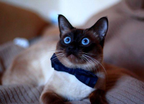 Тайская кошка очень любопытна, вместе с хозяином любит выполнять все интересные дела, считает себя полноценным членом семьи