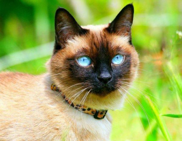 Тайская кошка - животное активное. Ей нужно совсем немного времени для сна, поэтому тайцев редко застанешь за этим занятием