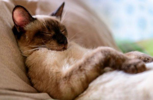 Агрессивное поведение нехарактерно для тайских кошек