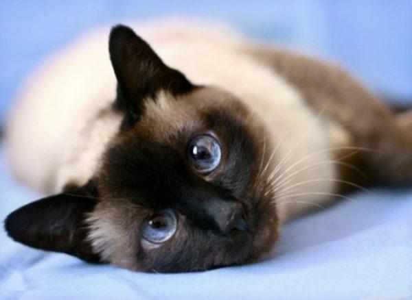 Основу питания тайской кошки составляют продукты с высоким содержанием белка