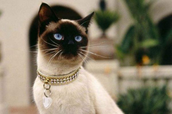 Тайские кошки входят в список долгожителей среди кошачьих