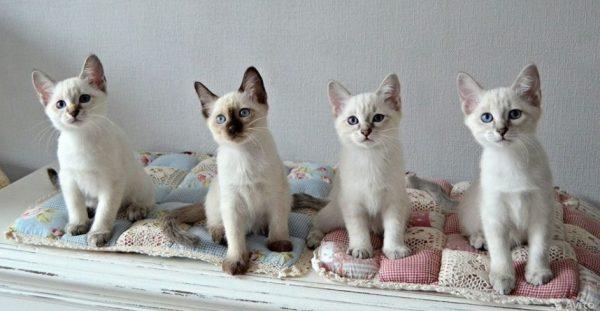 Происхождение котенка должно быть подтверждено соответствующими документами