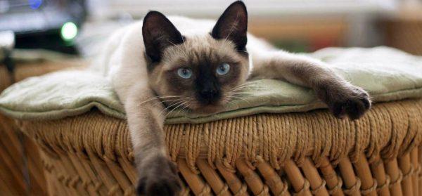 При разведении тайских кошек важно правильно подобрать партнера для питомца