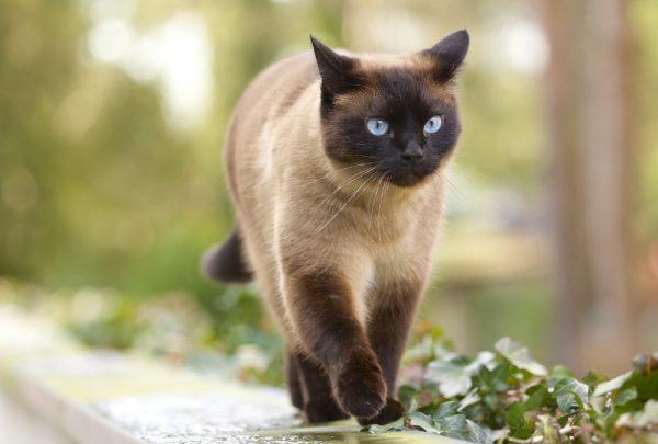 Один раз в два месяца необходимо удалять образовавшийся серный налет внутри ушей кошки
