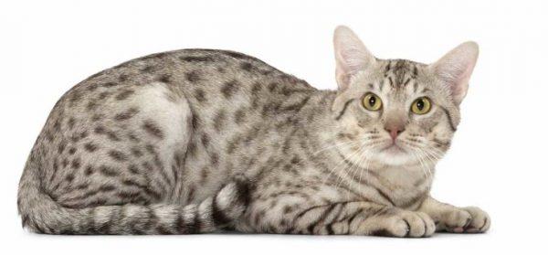 Кошка крупная, с развитой мускулатурой