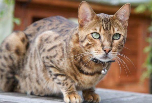 Кошки, питающиеся мягкими продуктами, должны регулярно, не реже раза в полгода, проходить чистку зубов у ветеринарного врача