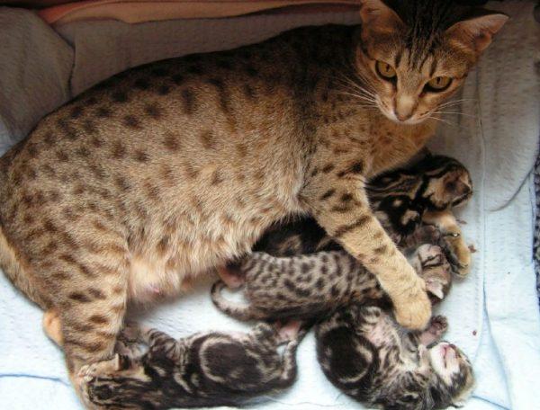 Кошка оцикет с котятами