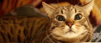Подробное описание и характер породы кошек корниш рекс