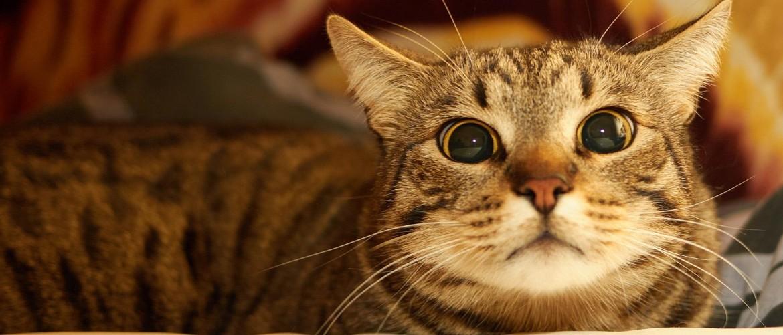 Описание породы Европейская короткошерстная кошка (кельтская): фото и цены
