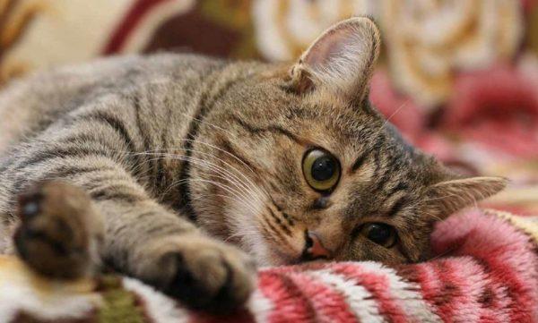 Кельтские, или, как их чаще называют, европейские кошки, славятся грацией и силой