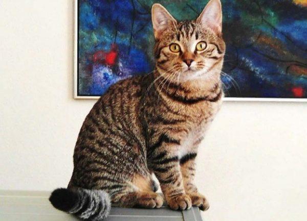 Под описание внешности европейской короткошерстной могут подойти обычные кошки
