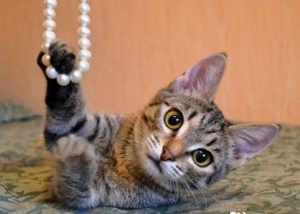 Европейская порода кошек хорошо поддаётся воспитанию