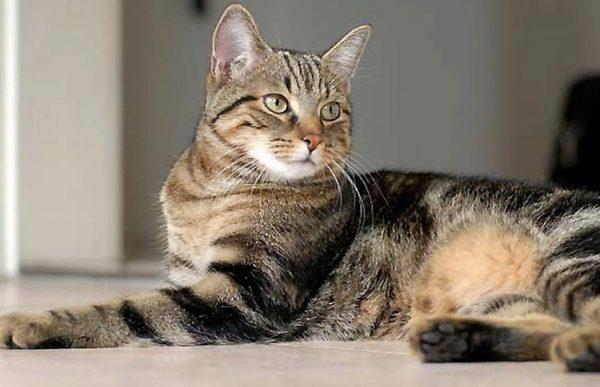 Кошка европейской породы