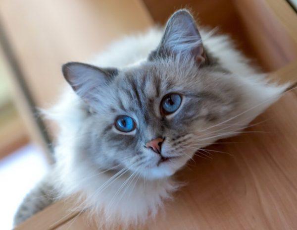Генетически кошки склонны к ожирению и заболеваниям сердца