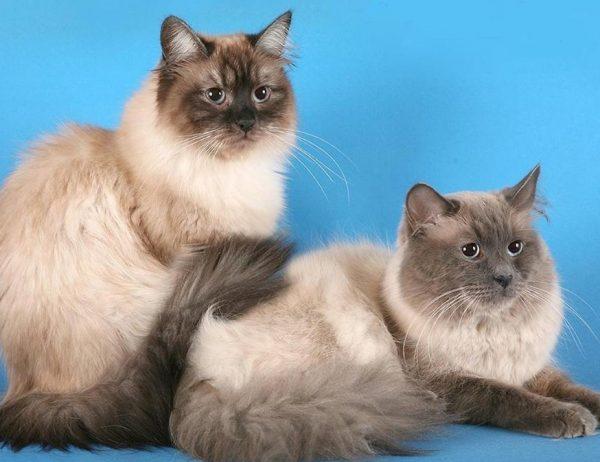 Кошки спокойные, уравновешенные, не подвержены стрессу