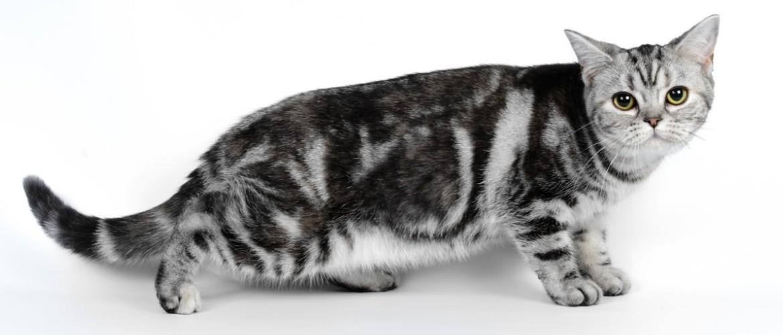 Американская короткошерстная кошка: фото, описание породы, цена