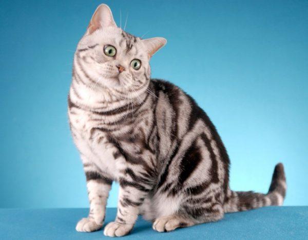 Сегодня эти кошки являются одной из любимых пород американцев и жителей Европы