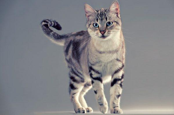 средняя продолжительность жизни американской короткошерстной кошки может достигать 15 лет и более