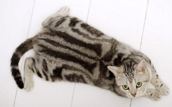 Для сохранения здоровья американца следует постоянно следить за тем, чтобы кот проявлял активность