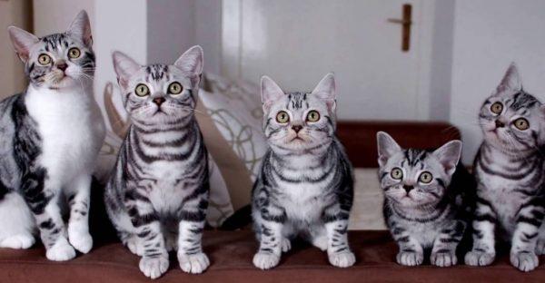 Котята американской короткошерстной кошки