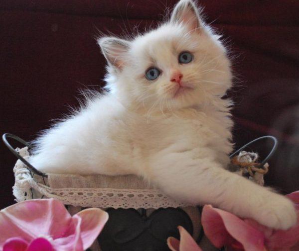 Котята рэгдолл рождаются молочно-белыми, а к возрасту 1,5–2 года приобретают породный окрас