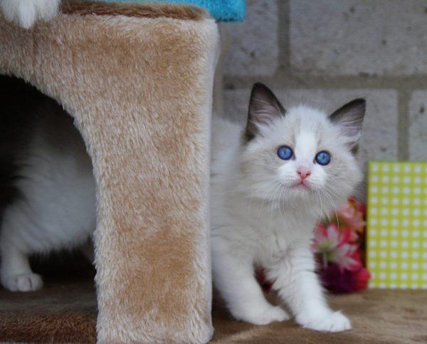 Котенка шоу-класса, пригодного для разведения, участия в выставках, можно купить по цене от 50000 рублей