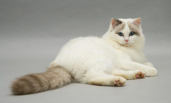 Кота также лучше кастрировать в возрасте старше одного года