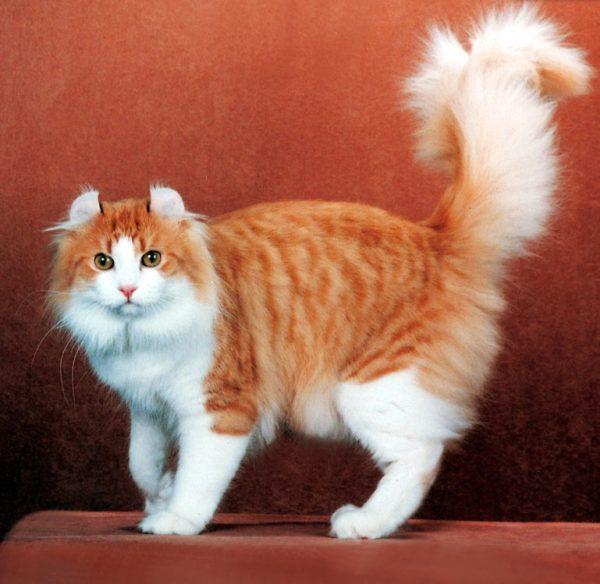 Кошки породы керл очень любопытны и сильно привязаны к хозяевам